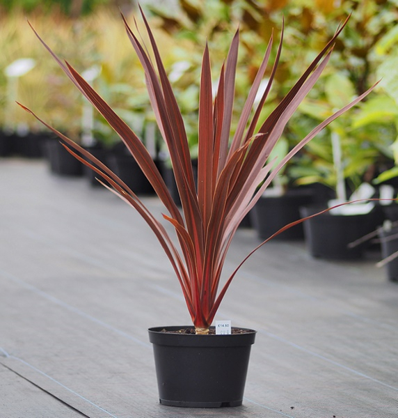 Cordyline Plants: The Benefits of Having Them Around - 3 ... on alternanthera house plant, aphelandra house plant, pleomele house plant, araucaria house plant, colocasia house plant, red and green leaf house plant, cereus house plant, olearia house plant, windmill palm house plant, lantana house plant, iris house plant, kentia palm house plant, acacia house plant, crassula house plant, zinnia house plant, scilla house plant, sansevieria house plant, mandevilla house plant, camellia house plant, giant white bird of paradise plant,